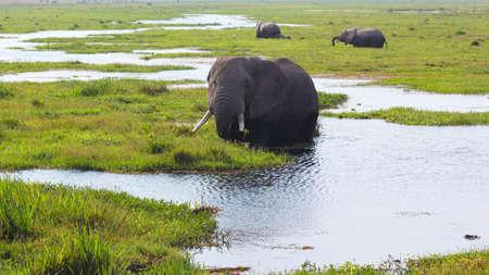 mara: A big elephant in the grass in Amboseli - Safari Kenya Stock Photo