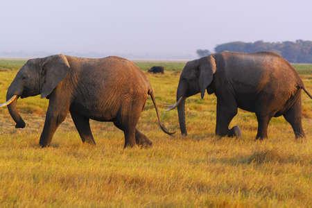 mara: Two big elephants in the arid grass of Amboseli -  Safari Kenya  Stock Photo
