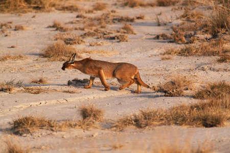 the lynx: The rare feline caracal during the sunset - Safari Kenya