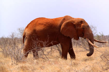 mara: A big elephant covered with red mud