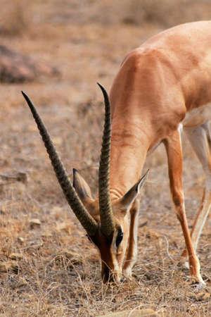 munching: A great male munching gazelle with big horns - Safari Kenya