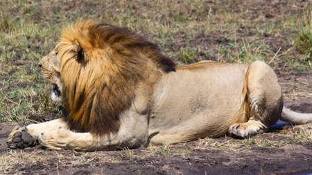 royal safari: A lion with a great mane - Safari Kenya