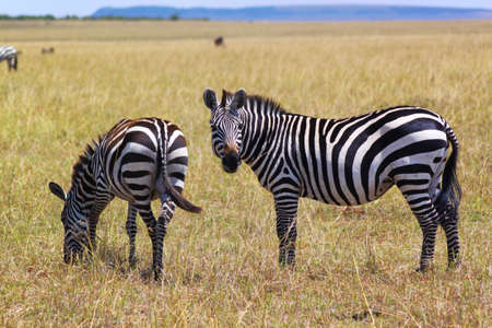 munching: Munching Zebras in Safari