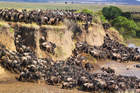 Gnus migration jumping on the shore of a river in Kenya  스톡 콘텐츠