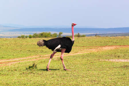 black plumage: Male of ostrich, with a black plumage in Kenya  Stock Photo