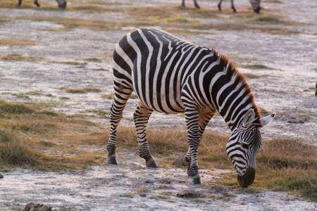 munching: A zebra munching in Safari of Kenya  Stock Photo
