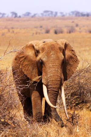 mara: A big elephant covered with red mud - Safari Kenya  Stock Photo