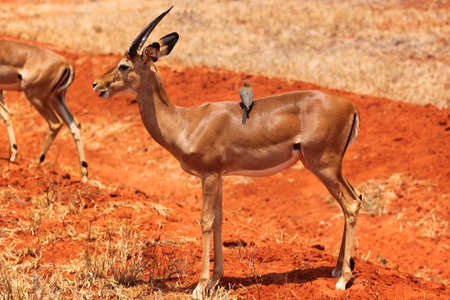 munching: A male gazelle with big horns munching in Safari, Kenya