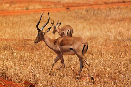 munching: Two great males of gazelle with twisted horns munching in Safari of Kenya  Stock Photo