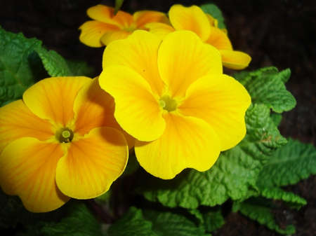 Yellow Primrose - Primula Hortensis  photo