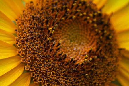 florets: Disk Florets of Sunflower
