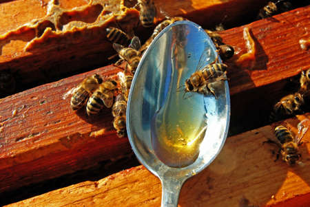 A bee chooses honey from a spoon.