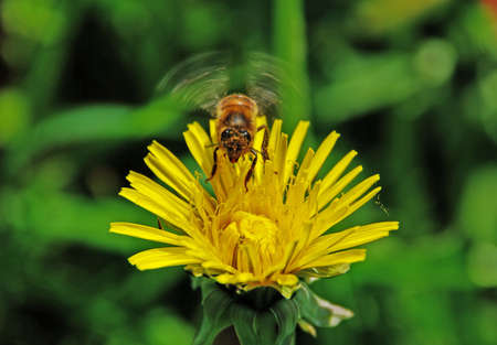 accomplishes: A bee accomplishes the soft landing on a dandelion from which she will collect pollen.