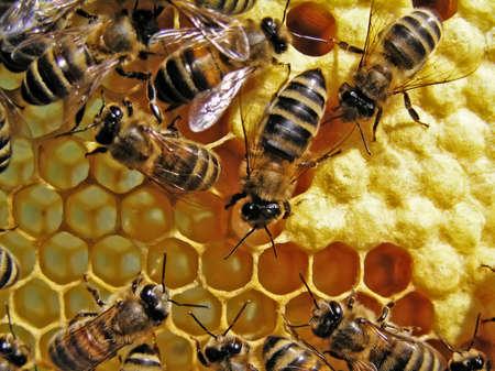 miel et abeilles: Mettre de c�t� dans les rayons de la ruche par l'ut�rus de l'?uf, les jeunes (ceux qui ne volent pas encore) se nourrissent les abeilles au cours de quelques jours.