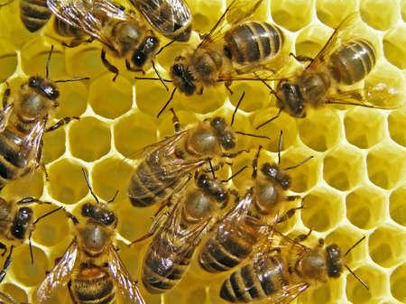 abeilles: Abeilles construire les rayons de la ruche est une cellule de la mise de nectar, de miel, de pollen d'abeille et de pain Banque d'images