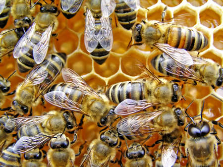Easily to know young bees on beautiful, unpulled about wings.