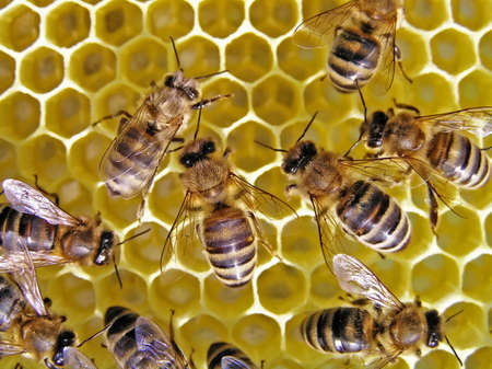 Young bees grow honeycombs on the scope of beehive.