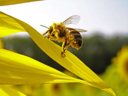 instincts: Collecting pollen of sunflower on hairs, a bee  scrapes away her in the small baskets.