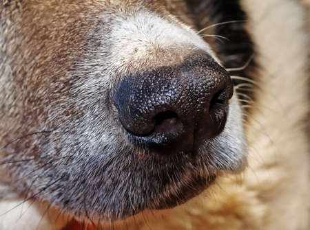 olfactory: The nose of dog is the accomplished olfactory. He has a lot of receptors. Stock Photo