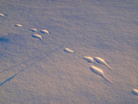 recognize: It is easily to recognize track of hare for two transversal and two longitudinal footmarks.
