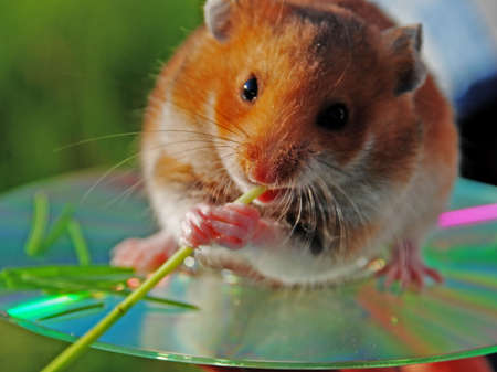 optical disk: A hamster is the favourite animal of little children. He sits on an optical disk.