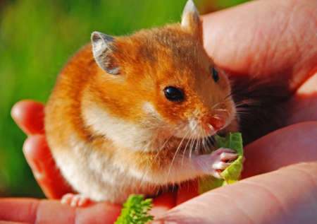 A hamster is the favourite animal of little children. He is in the hands of girl.