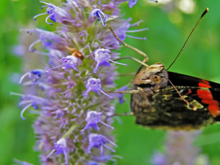 migrating: A butterfly collects nectar from flowers.