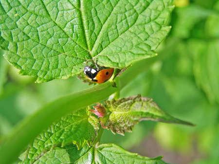 piojos: Pertenece al destacamento de descomposici�n (escarabajos). Los piojos se alimenta de plantas, lo que es de gran uso.