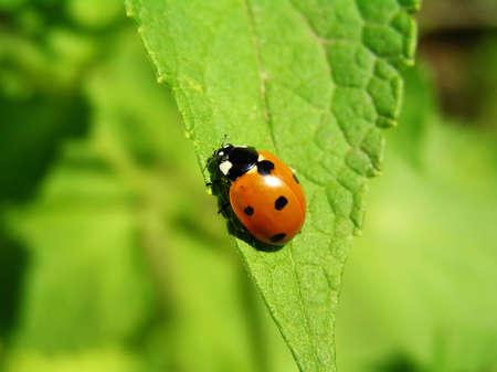 medical  plant: Pertenece al destacamento de descomposici�n (escarabajos). Los piojos se alimenta de plantas, lo que es de gran uso. Ella est� en la hoja de lofant - m�dicos de plantas mel�feras y de hierbas.
