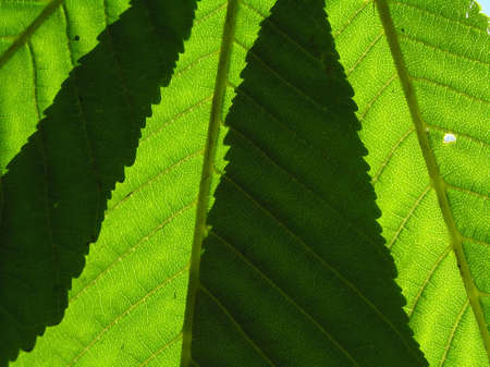 imposition: As a result of imposition of leaves of chestnut meeting light creates original figures.