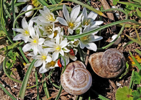 grape snail: Crocuses - flowers protected by the law. On their petals there are two ladybirds. Stock Photo