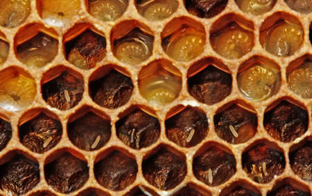 In honeycombs there are eggs and larvae of bees.