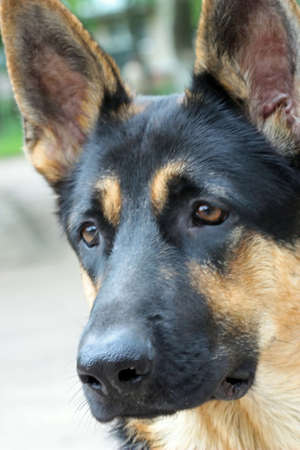 The German shepherd to Ball has clever, but sad eyes. photo