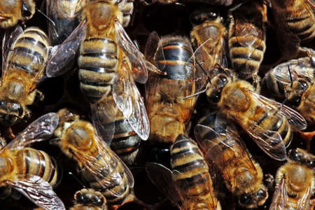 drones: Fuchi - uomo individui di una famiglia di birra. Essi sono pi� grandi di un normale api e sono molto belle.