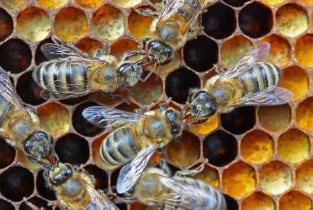 Bertragung eines anderen Bienen Nektar oder medizinische Standard-Bild - 4930085