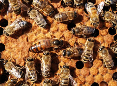 The queen bee searches for the blank cells to postpone in them eggs. Stock Photo