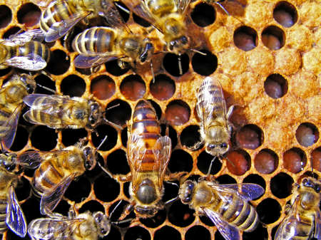 reasonable: The queen bee searches for the blank cells to postpone in them eggs. Stock Photo