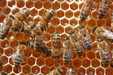 The group of bees processes nectar in medical