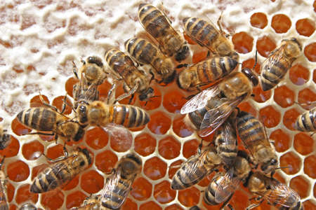 The group of bees processes nectar in medical Among bees there is also a drone. photo