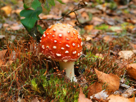 Grows in the coniferous and mixed woods. A poisonous mushroom. photo