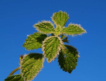 anisotropy: The first frosts create a beautiful picture - on even green leaves there is a hoarfrost.