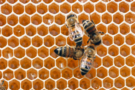 To 12 days young bees constantly work in a beehive. Standard-Bild