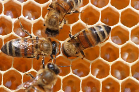 potentiality: To 12 days young bees constantly work in a beehive. Stock Photo