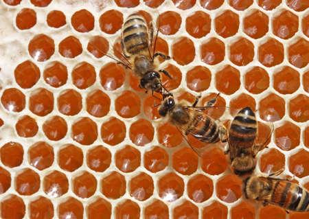 evaporarse: Pasando repetidamente por s� mismo, las abejas enriquecen las enzimas de n�ctar. Al mismo tiempo se evaporan de ella el agua. Cierran miel recibida as� de cera (desde arriba - a la izquierda - la miel cerrada).
