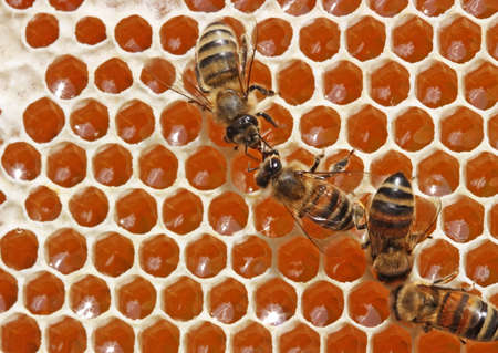 instincts: Passing repeatedly through itself, bees enrich nectar enzymes. Simultaneously they evaporate from it water. They close honey received thus wax (from above-at the left - the closed honey). Stock Photo