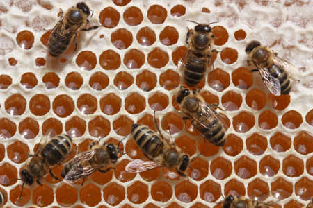 enrich: Passing repeatedly through itself, bees enrich nectar enzymes. Simultaneously they evaporate from it water. They close honey received thus wax (from above-at the left - the closed honey). Stock Photo