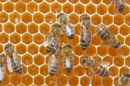 potentiality: El n�ctar de una abeja que se entregan en una colmena se transformar� en m�dicos