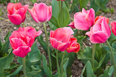 deduce: These tulips are grown up in the Nikitsky botanical garden (Crimea) Stock Photo
