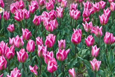 deduce: The new kind of tulips deduced in the Nikitsky botanical garden. Crimea.