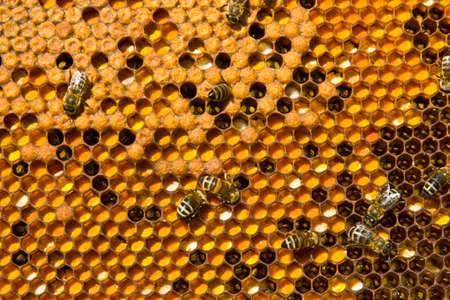 ambrosia: In questo caso, le celle sono pieni di ambrosia e ape covata.